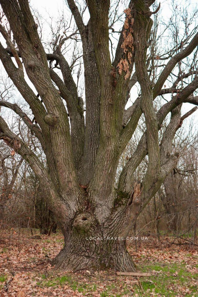"""Семиствольный дуб в парке """"Элита"""""""